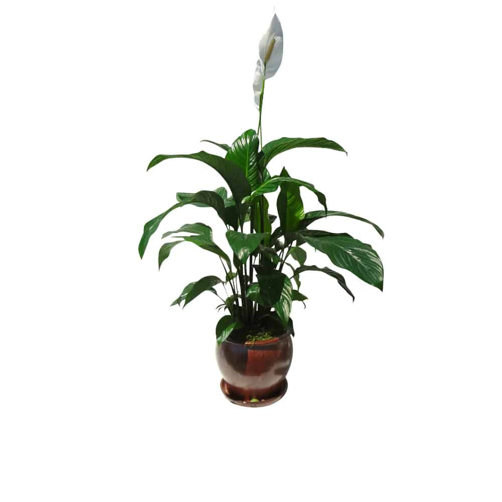Green plant in a brown ceramic pot with white flower