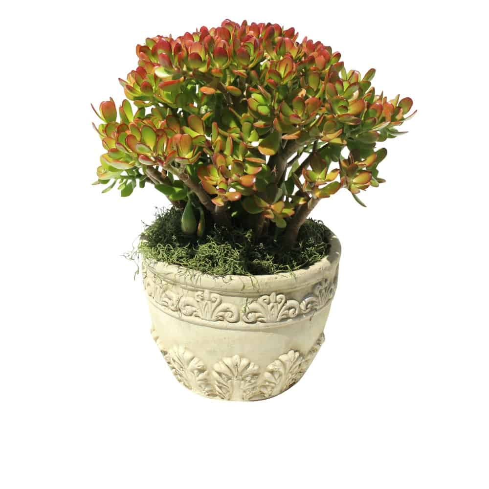 Green and red plant in a white ceramic pot