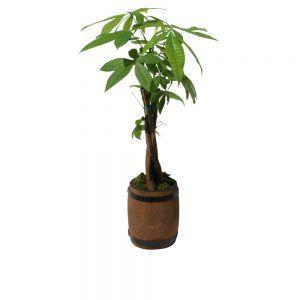 Green plant in a barrel brown pot