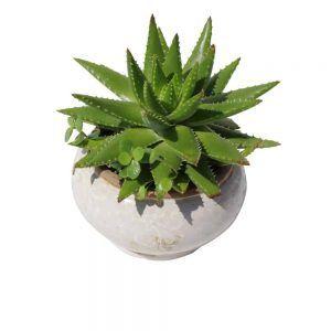 Cactus in a white ceramic pot
