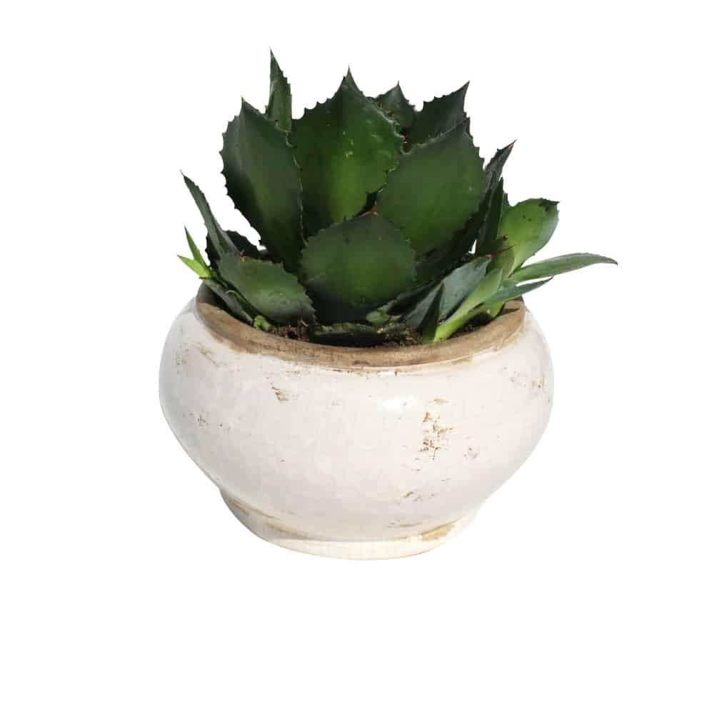 Green plant in a ceramic pot cactus