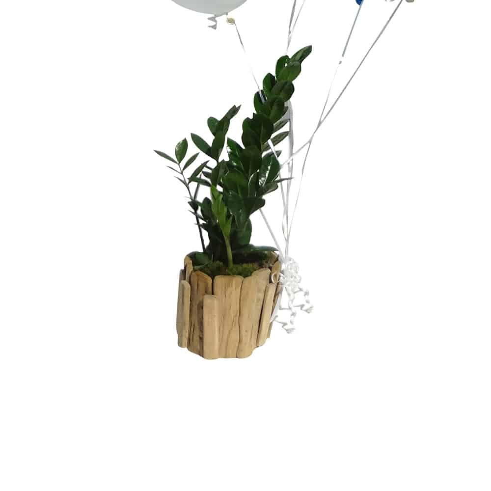 Green plant in a wood pot with 2 white and 2 blue balloons and a cup cake balloon with the words Happy Birthday