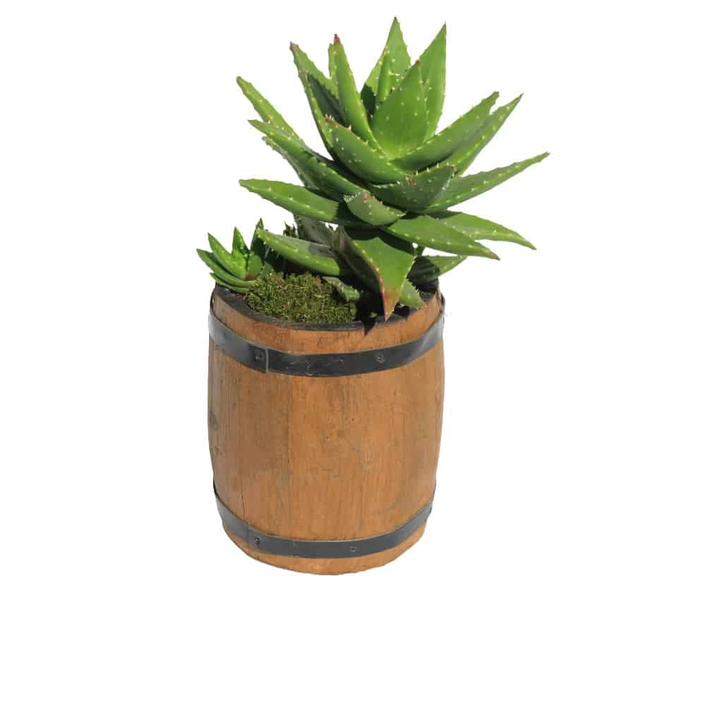 Green plant in a pot cactus