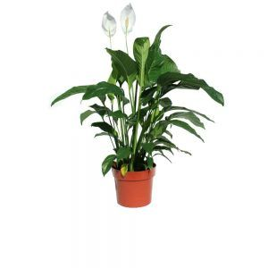 Green plant in a pot with white flowers