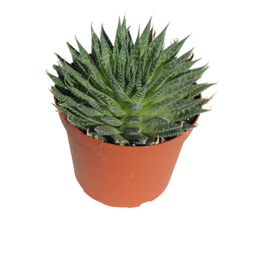 Green plant in a pot