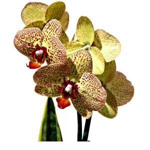 Yellow with red orchids