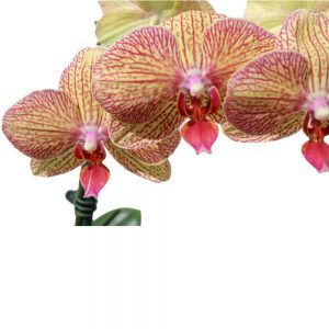 Yellow with pink orchids