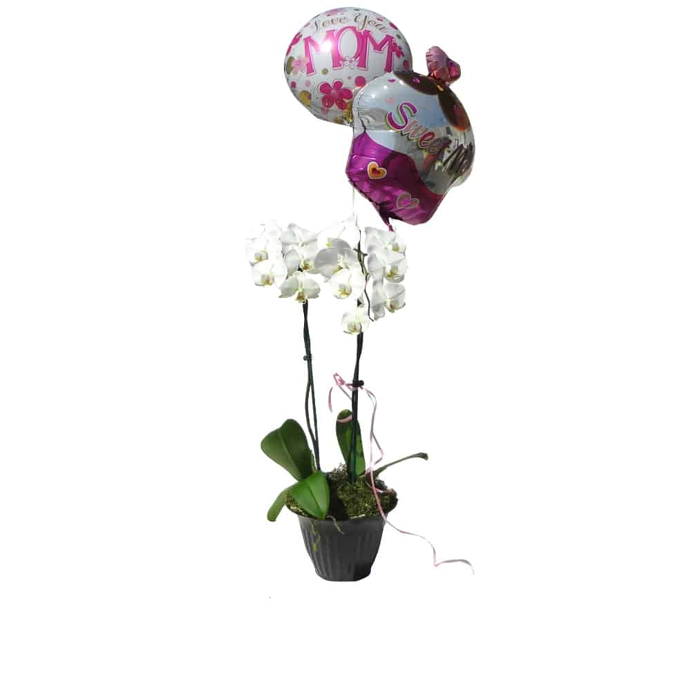 2 whites orchids in a pot with 2 balloons