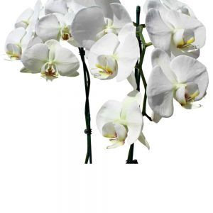 2 whites orchids in a pot