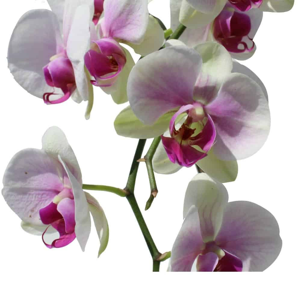 2 white with pink orchids in a plastic pot