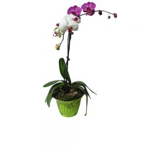 1 pink and 1 white orchids in a pot