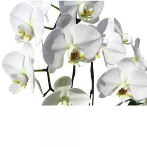 3 white orchids in a wood black pot