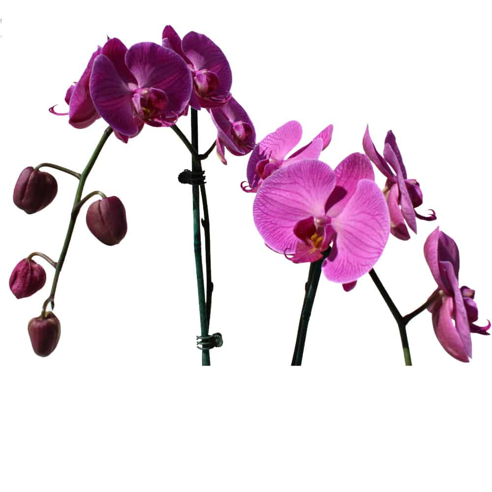 2 pink orchids in a pot