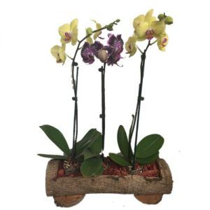 Yellow , purple orchids in a wood base