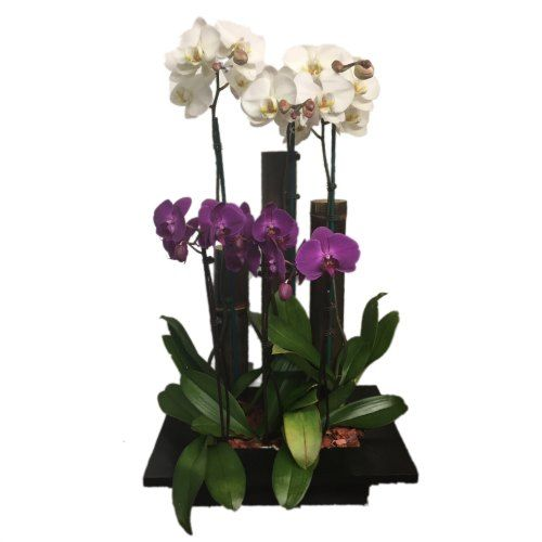 White and purple orchis in a wood base with bamboo